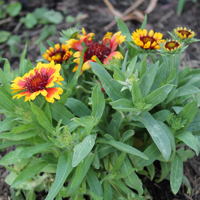 Choosing Perennials for Your Flower Beds