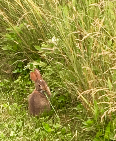 Young Bunny in the Berkshires