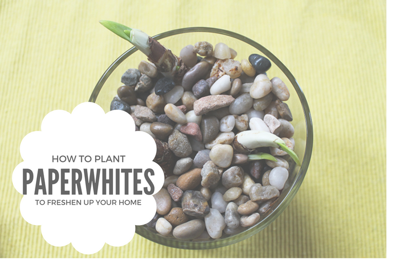 How to plant paperwhite bulbs